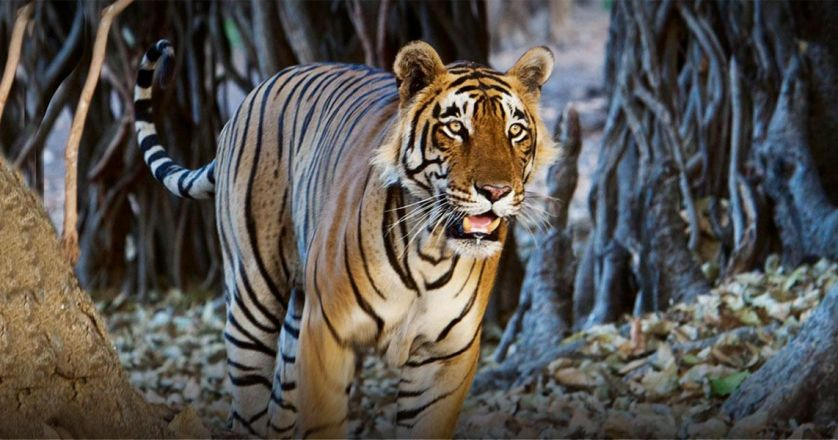 BANDHAVGARH NATIONAL PARK, M. P .